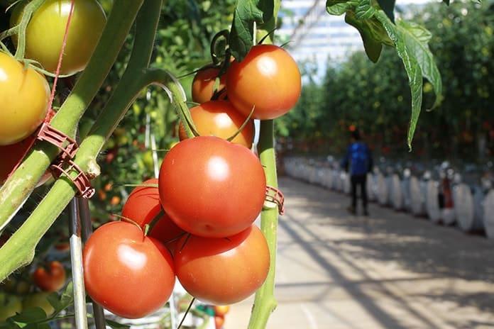 Sundrop Solar Farm Tomato Production at Port Augusta - Picture 1