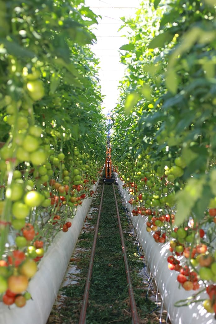 Sundrop Solar Farm Tomatoes Irrigation at Port Augusta - Picture 4