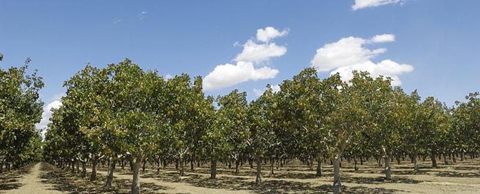 Horizon Nut Pistachio Trees