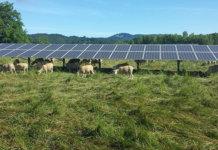 Sheep Graze Under the 35th Street Solar Array at Oregon State University