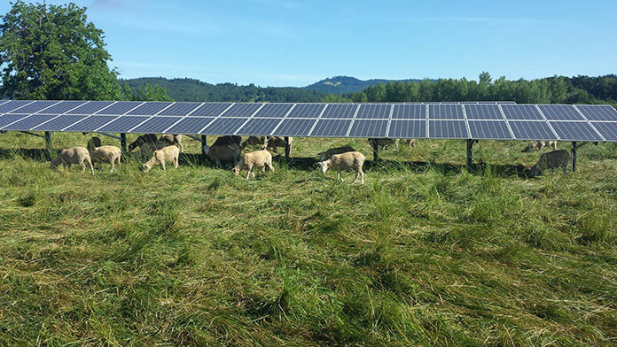 Sheep Graze Under the 35th Street Solar Array at Oregon State University