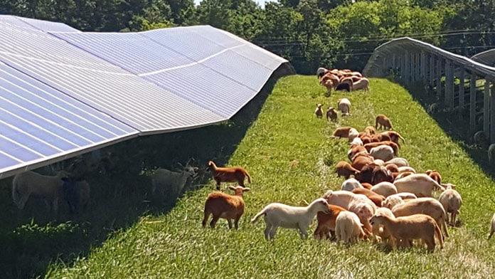 Sheep Graze Between Rows of Solar Panels