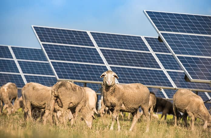 Solar Panels and Grazing Sheep: Agrophotovoltaics Increasing Productivity