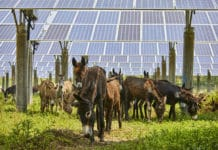 A Group of Donkeys Roaming Amongst Solar Photovoltaic Panels