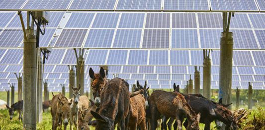 A Group of Donkeys Roaming Amongst Solar Photovoltaic Panels
